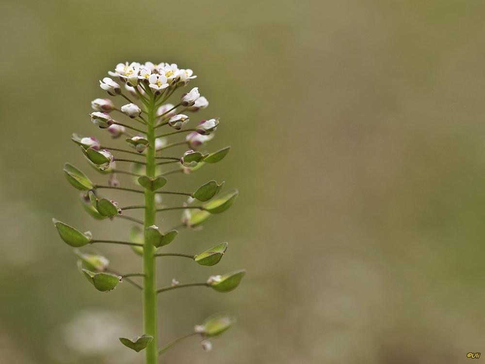 Durchwachsenblättriges Kleintäschelkraut ( Microthlaspi perfoliatum)