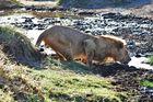 Durst in der Serengeti