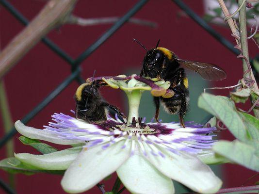 durstige Bienen