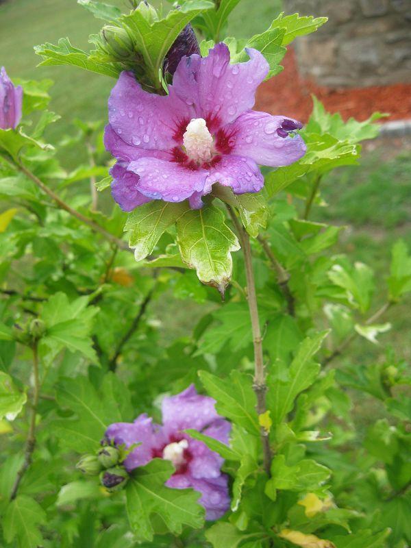 Durstige Blume
