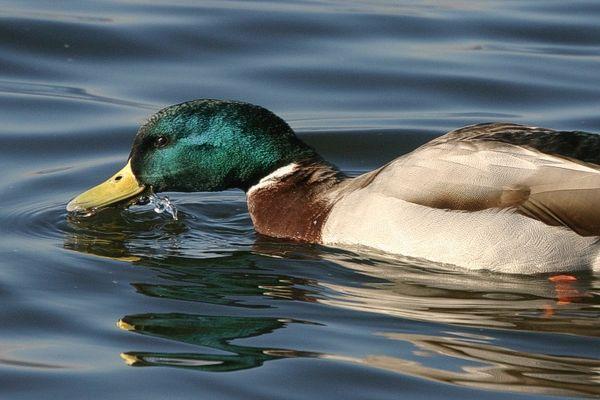 Durstige Ente am Bodensee