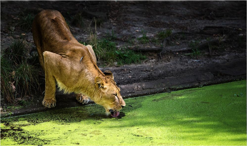 Durstige Löwin....