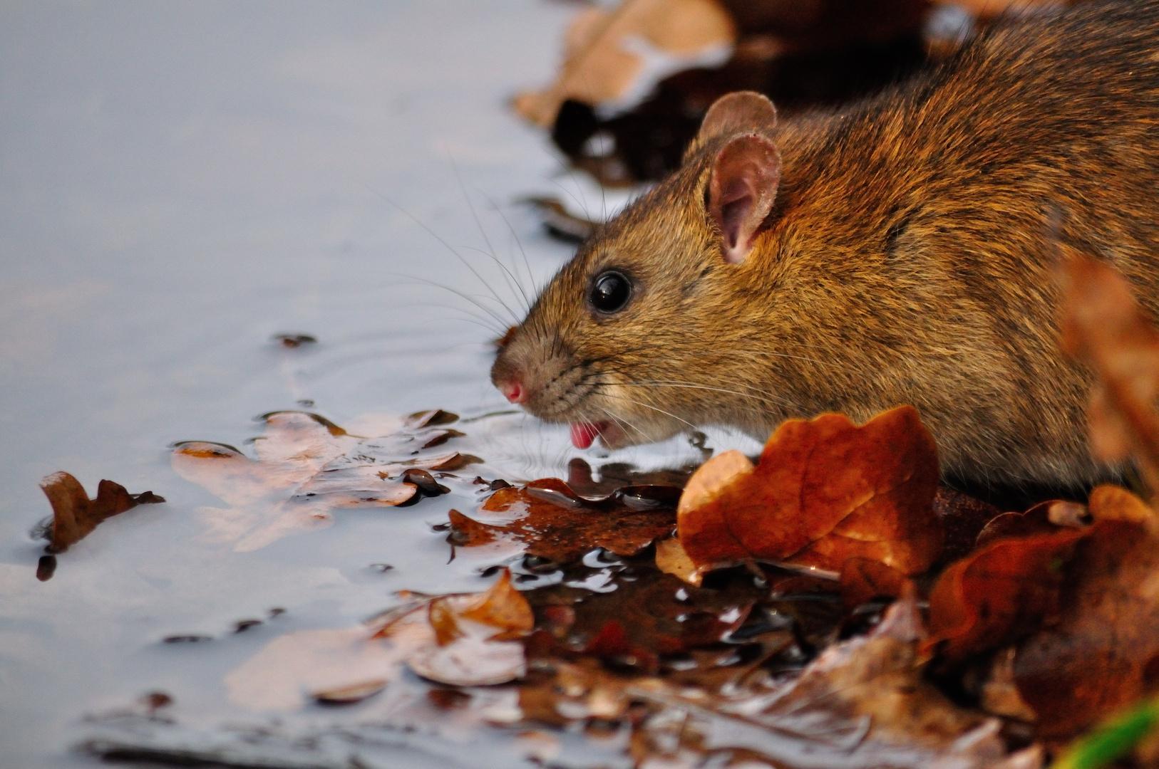 durstige Ratte
