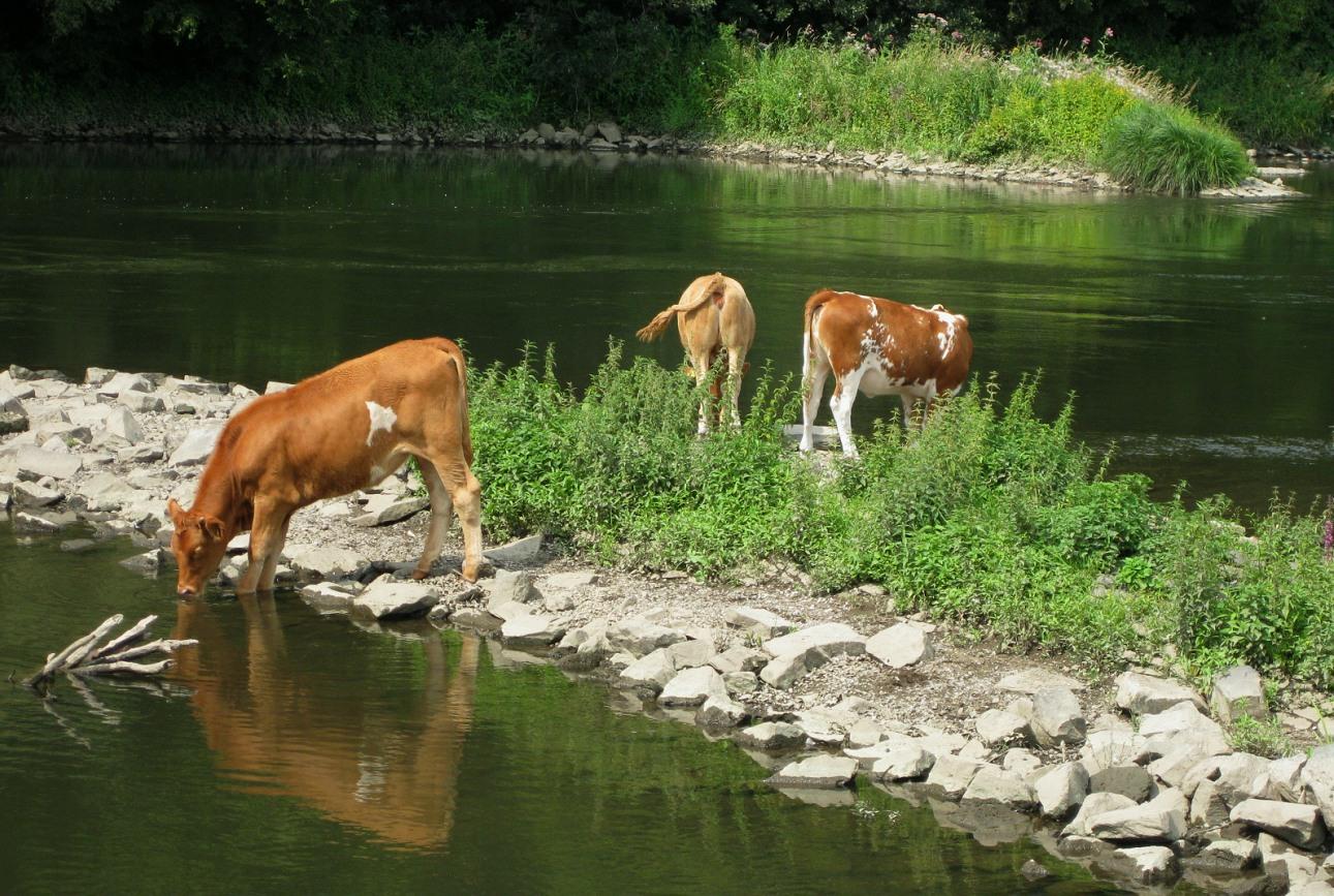 Durstige Rinder in Hattingen