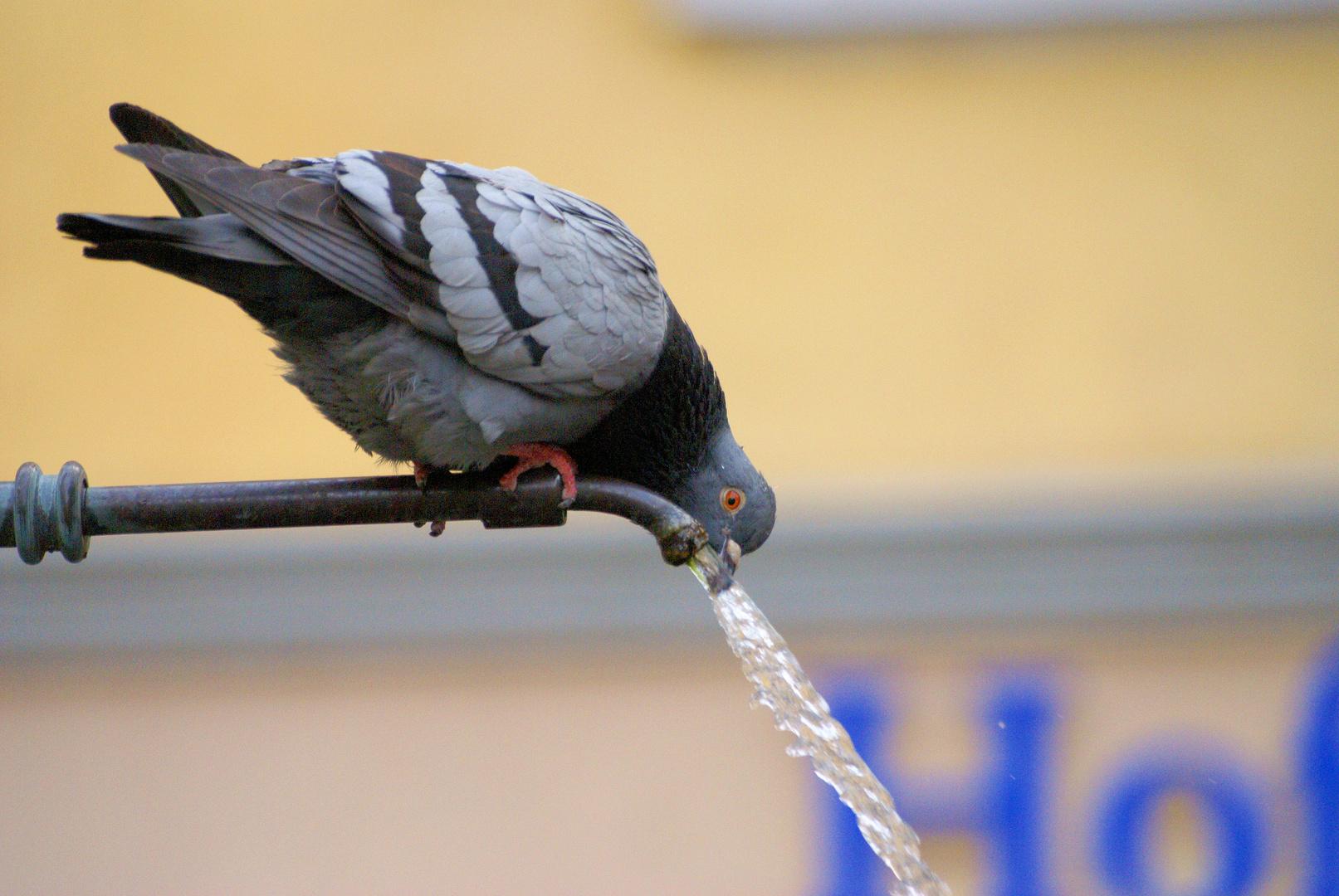 Durstige Taube