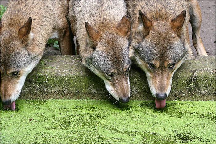 Durstige Wölfe
