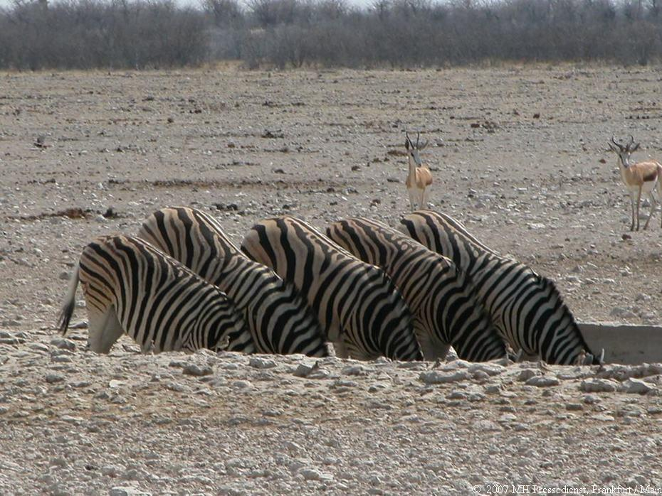 Durstige Zebras