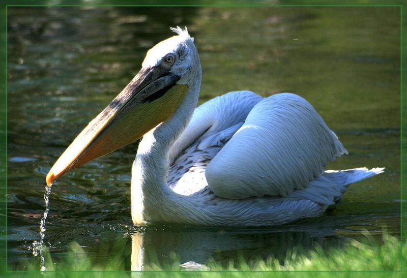Durstiger Pelikan