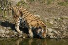durstiger Tiger