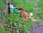 Durstiges Huhn