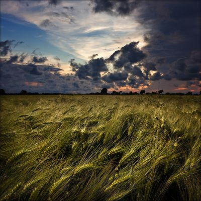 dusk above the barley field 2