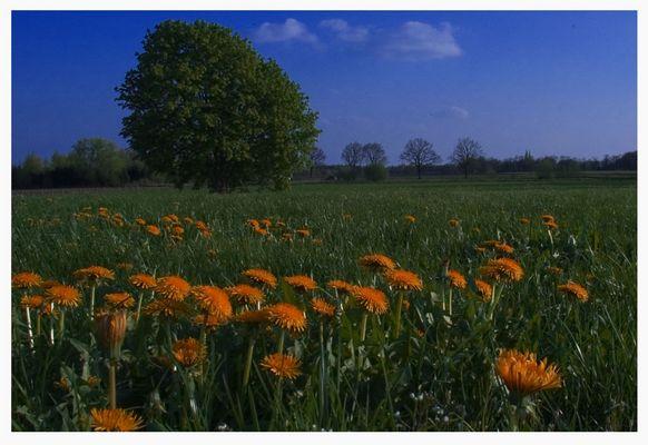 Dutch dandelion (Löwenzahn Hollanda)