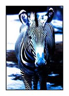 e eschtes kölsche zebra