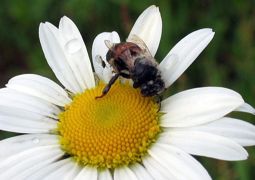 E' più dolce l'ape o il nettare...