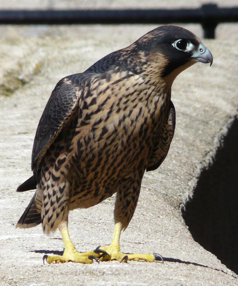 é proprio un falco!