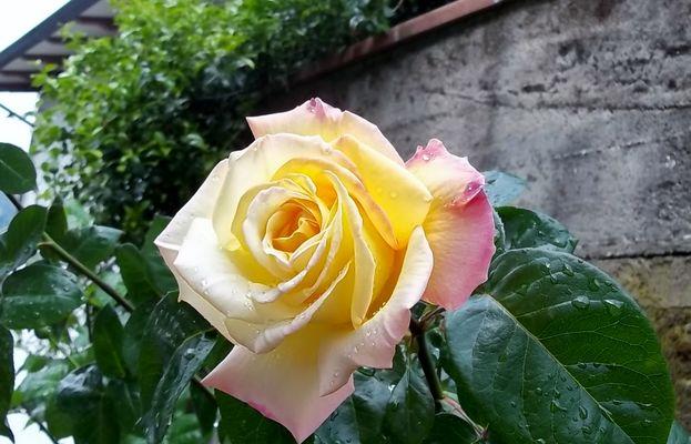 è una rosa
