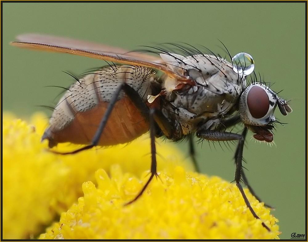E voilà, la mouche avec la rèserves d'eau