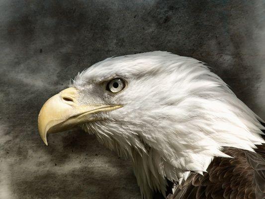 Eagle Composing