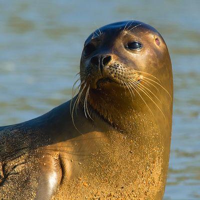 Earless seal 05