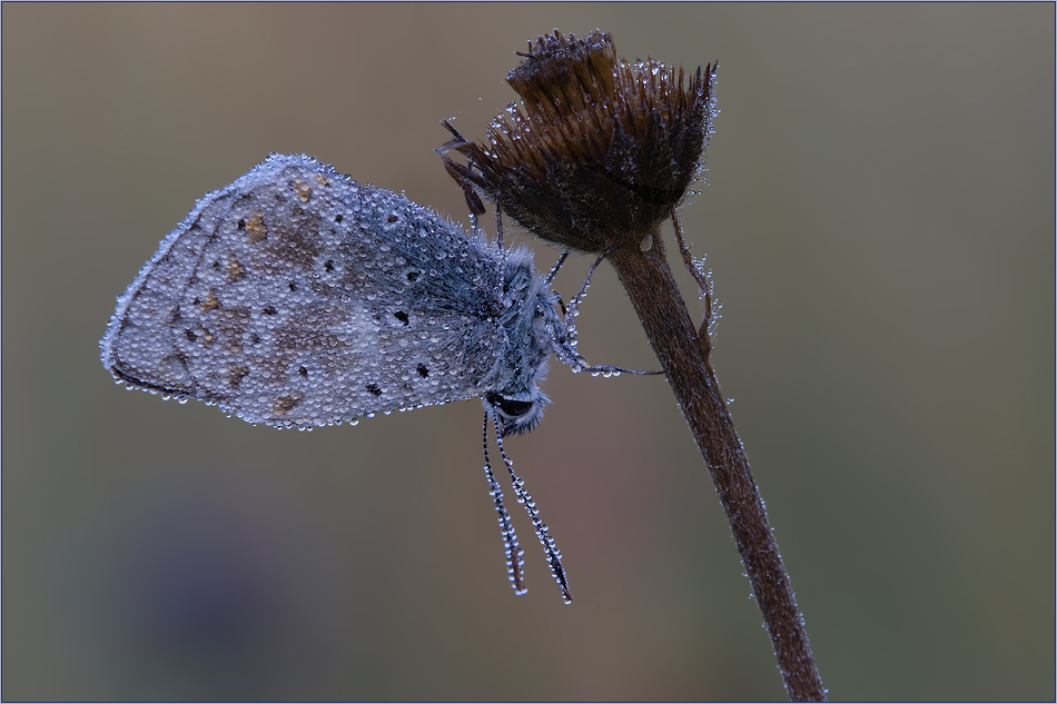 ~ Early Blue ~