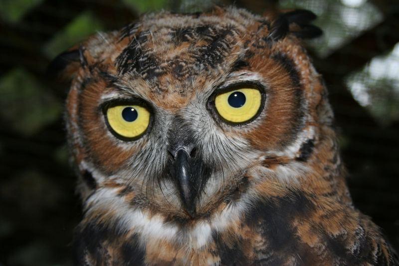 Eastern Great Horned owl