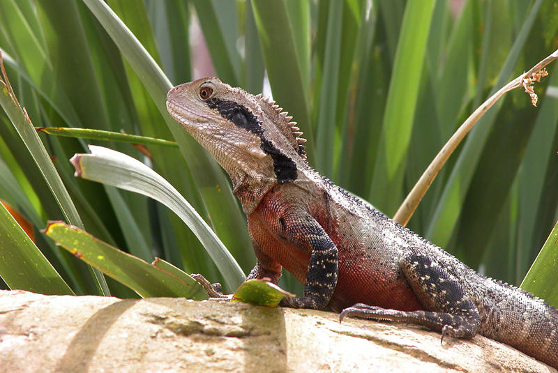 Eastern Water Dragon  (austral. Wasser Agame)