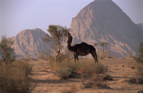 eating camel