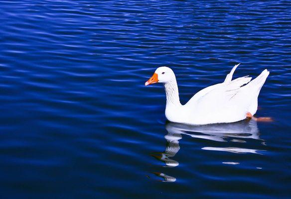 eau bleu et canard blanc