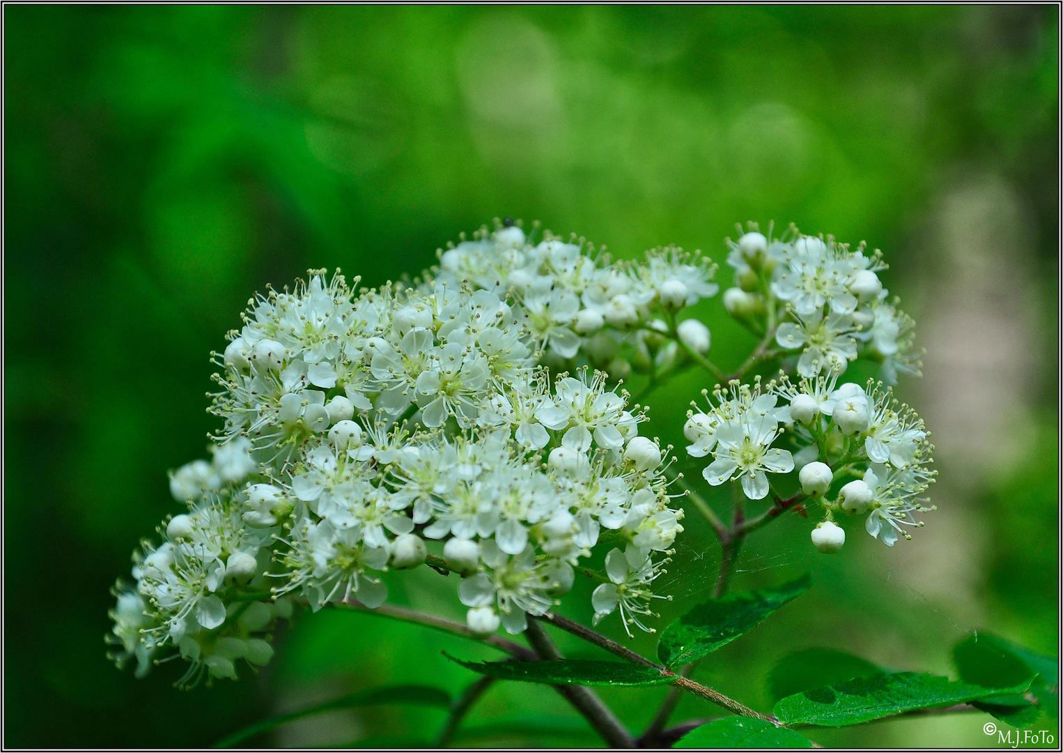 Ebereschen Blüte