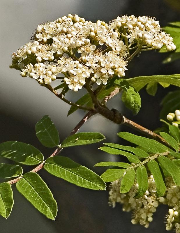 Ebereschenblüte