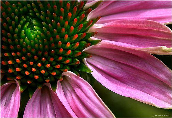....Echinacea....