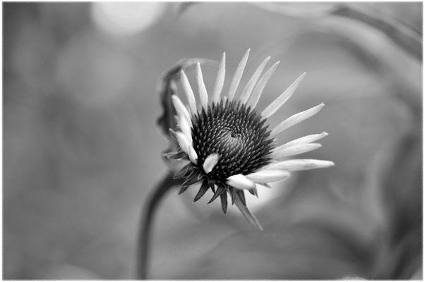 Echinacea B&W