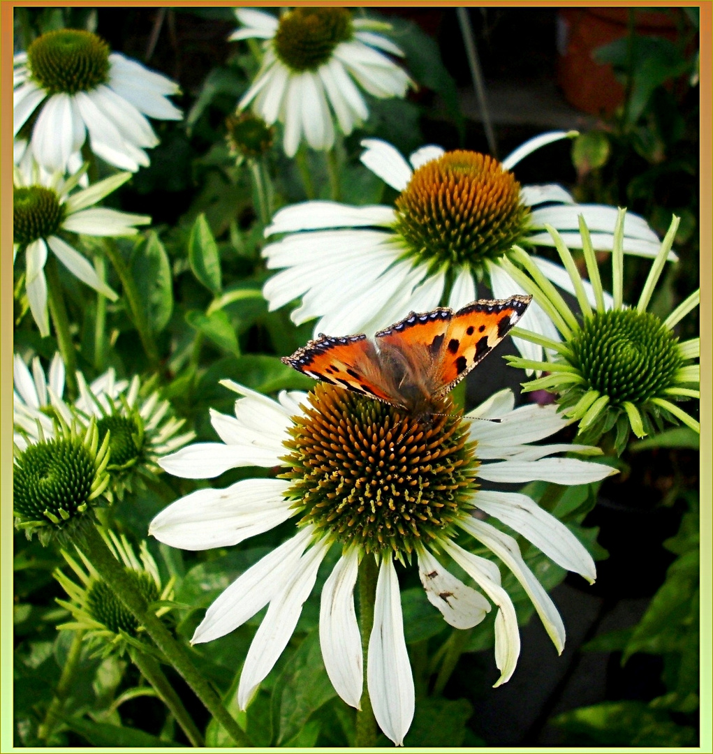 Echinacea flowers with Tortoiseshell butterfly