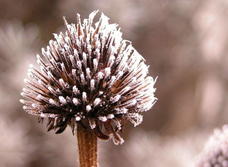 Echinacea im Winter