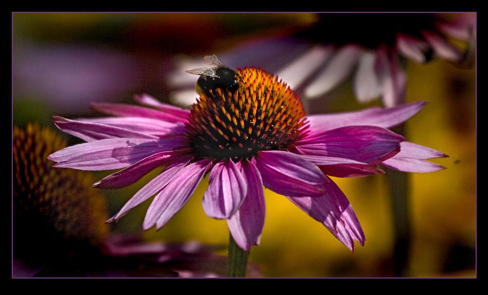 Echinacea in pink...