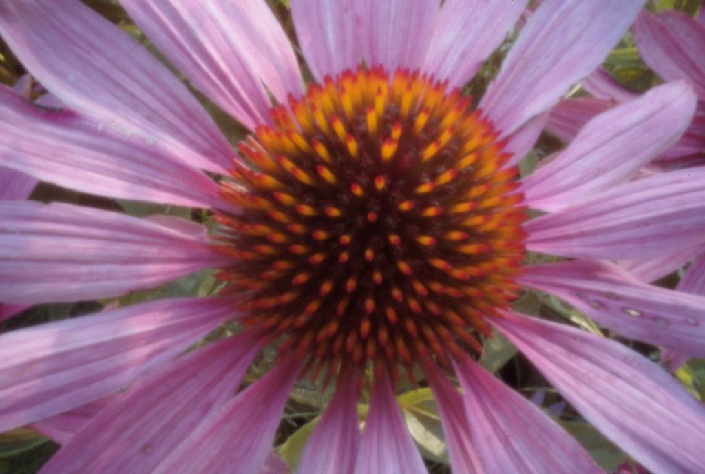Echinacea Pinhole