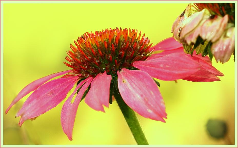 Echinacea purpurea*