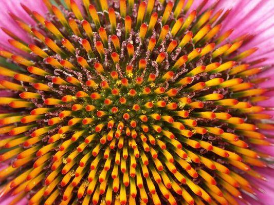 Echinacea purpurea (Purpur-Sonnenhut)