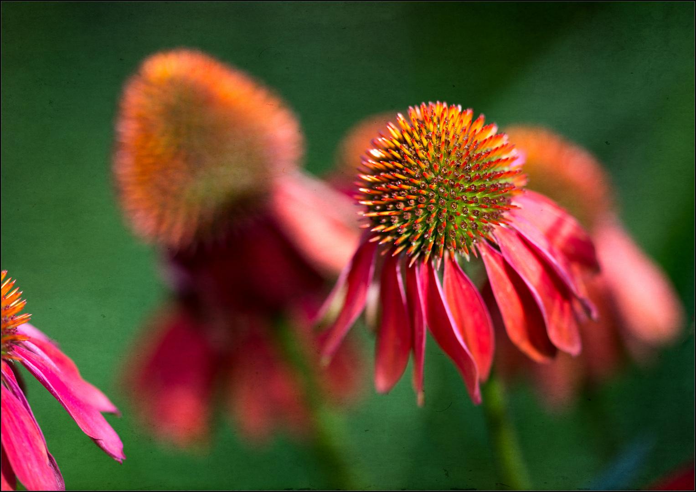 Echinacea - Variante