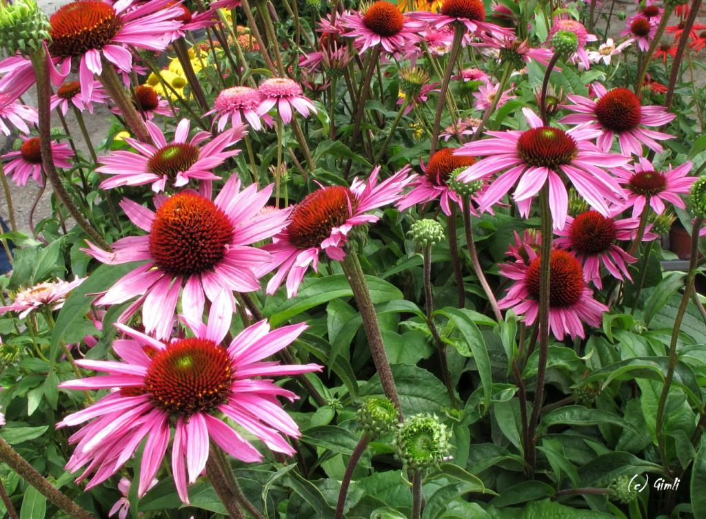 Echinaceaen auf dem Pflanzenmarkt