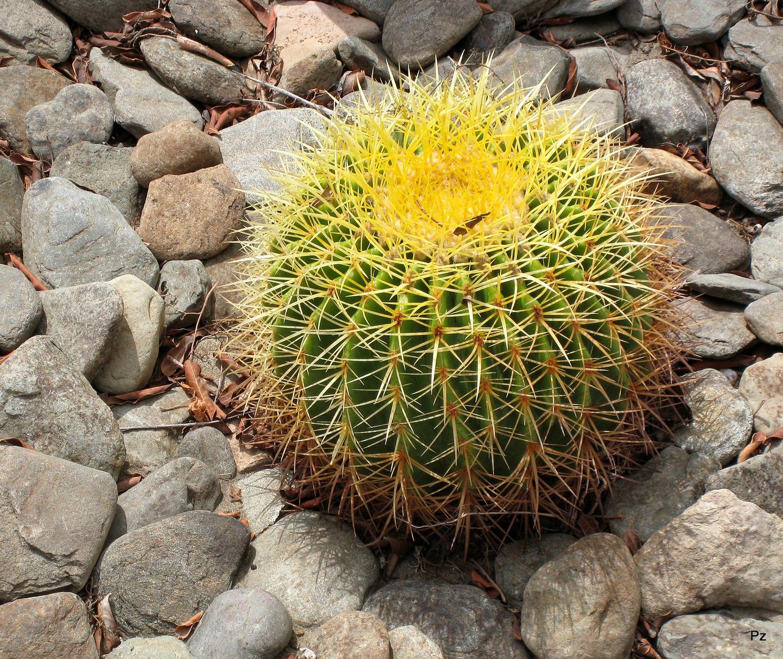 Echinocactus ...