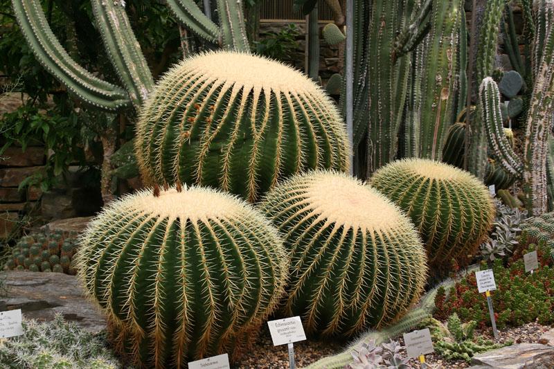 echinocactus grusonii schwiegermutterstuhl o goldkugelkaktus foto bild pflanzen pilze. Black Bedroom Furniture Sets. Home Design Ideas