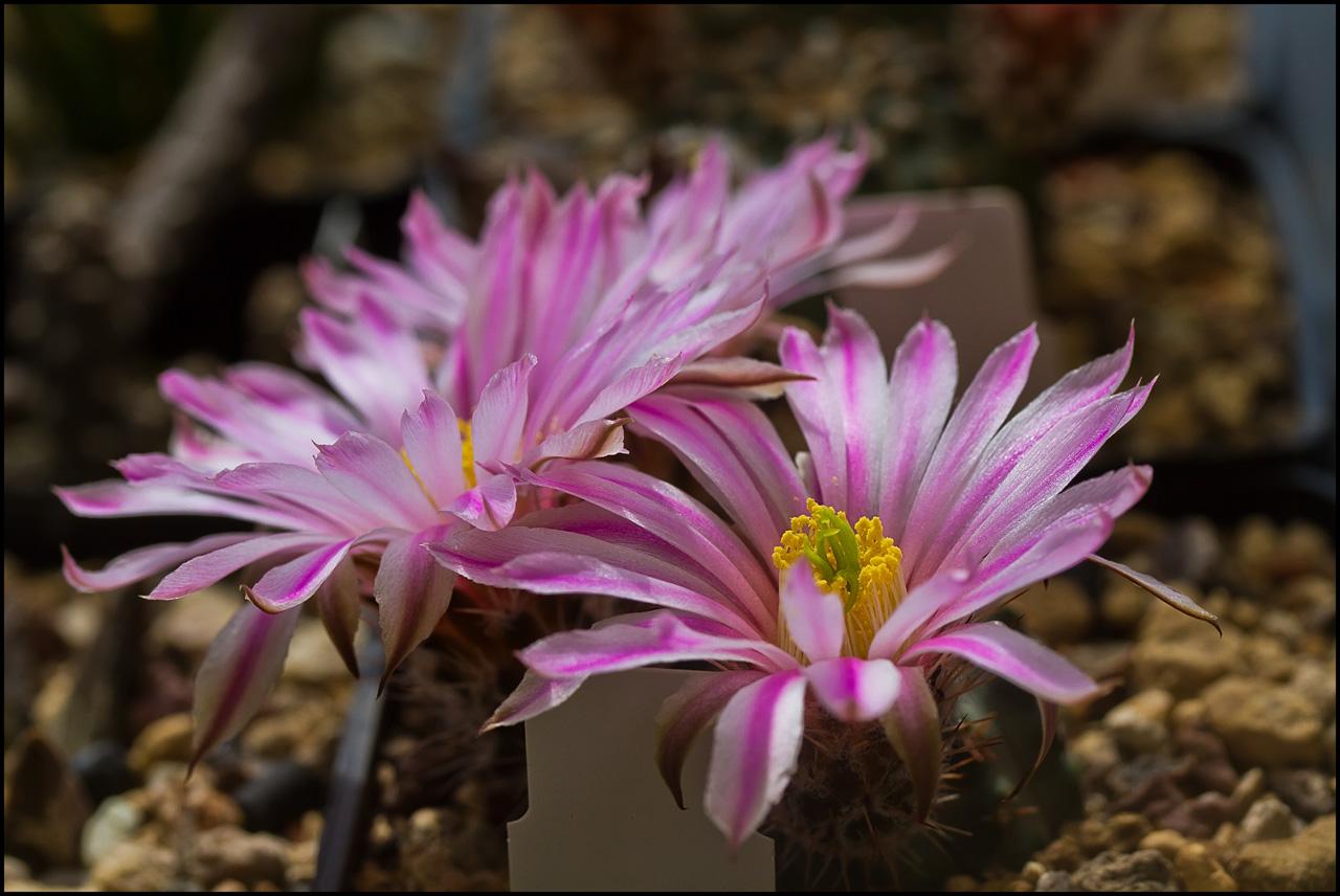 Echinocereus pulchellus