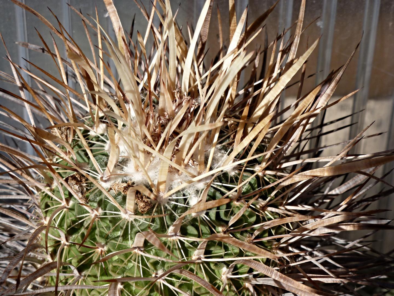 Echinofossulocactus spec.