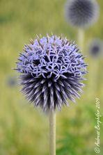 Echinops ritro - Blume 90027030