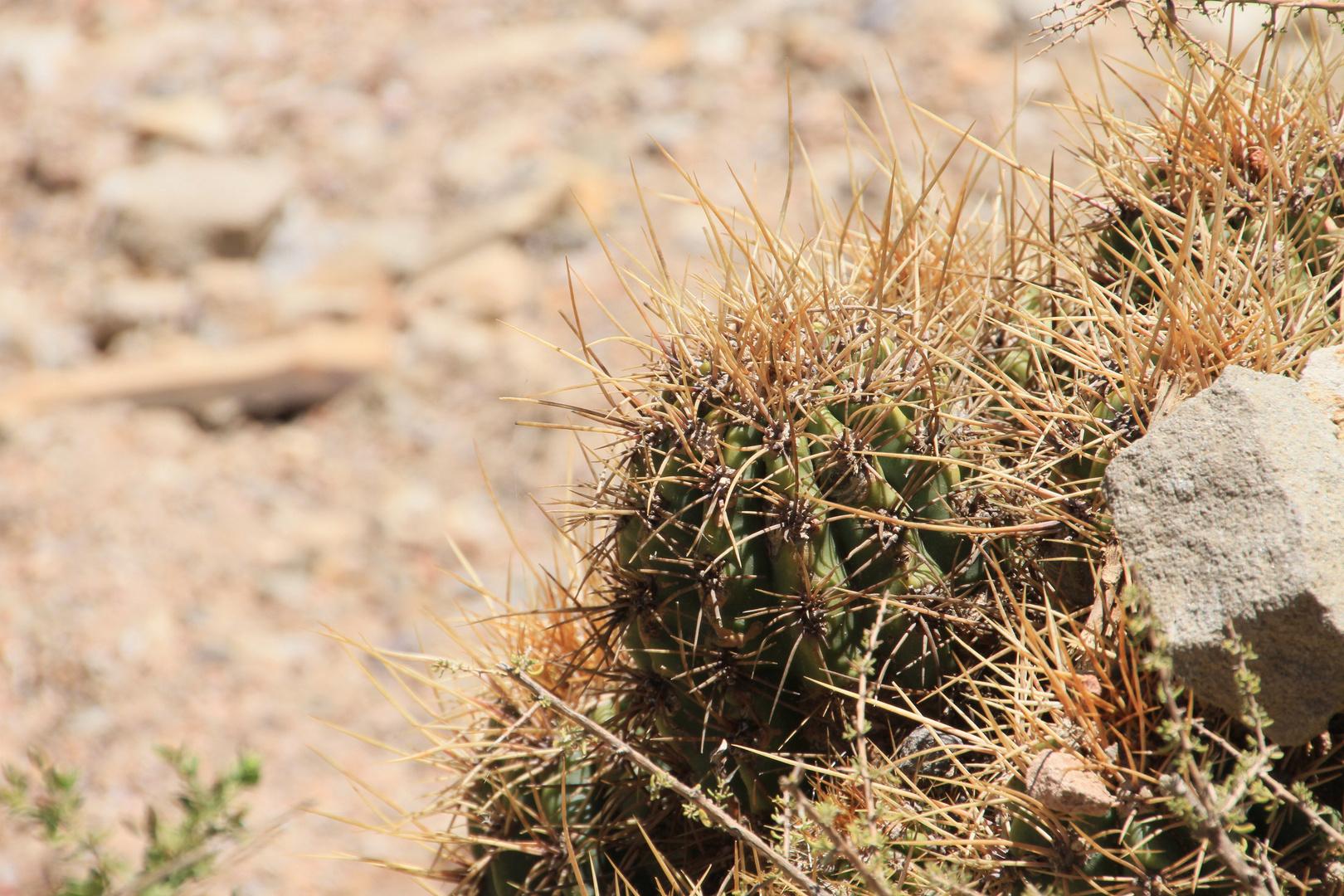 Echinopsis 2