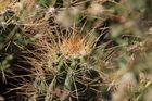 Echinopsis 3