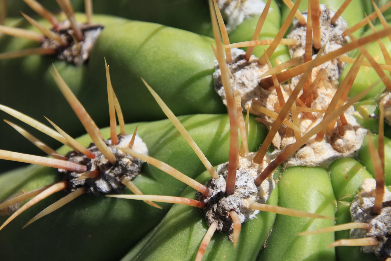 Echinopsis 6 (Provinz Mendoza/Argentinien)