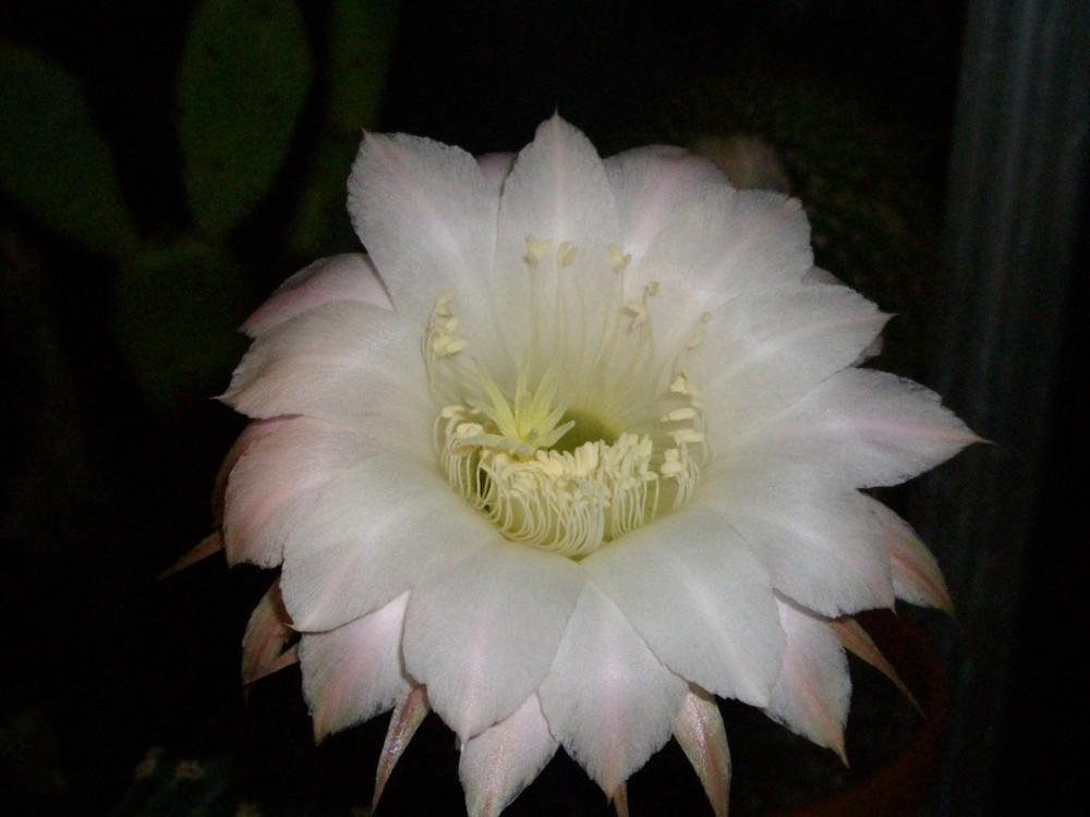 Echinopsis Blüte 2