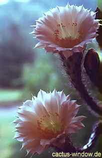 Echinopsis eyrisii_01